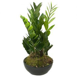 Zamioculcas Zamiifolia in schaal