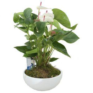 Prachtige witte Anthurium in schaal